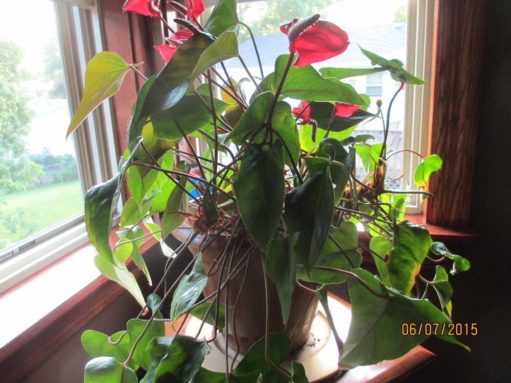 Photo of Anthuriums (Anthurium) uploaded by Freedombelle