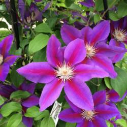 ATP Podcast #106: Pruning Clematis, Some Thoughts on Herbicides, and Other Stuff