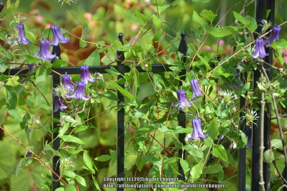 Photo of Clematis 'Rooguchi' uploaded by treehugger