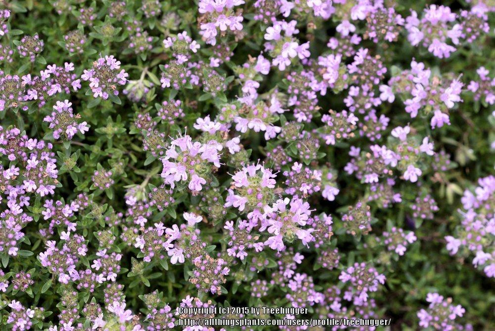 Photo of Thyme (Thymus serpyllum 'Russetings') uploaded by treehugger