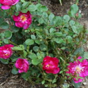 Location: In my gardenDate: 2015-06-09newly planted a couple of months ago