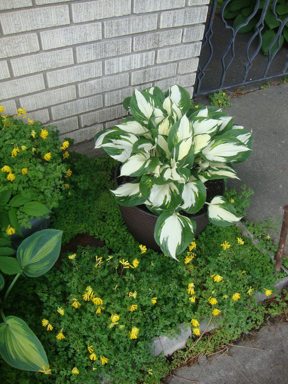 Hostas Are Wonderful in Containers - Garden.org
