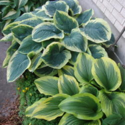Hostas Are Wonderful in Containers