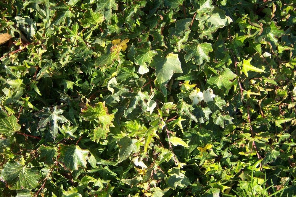 Photo of English Ivy (Hedera helix) uploaded by admin