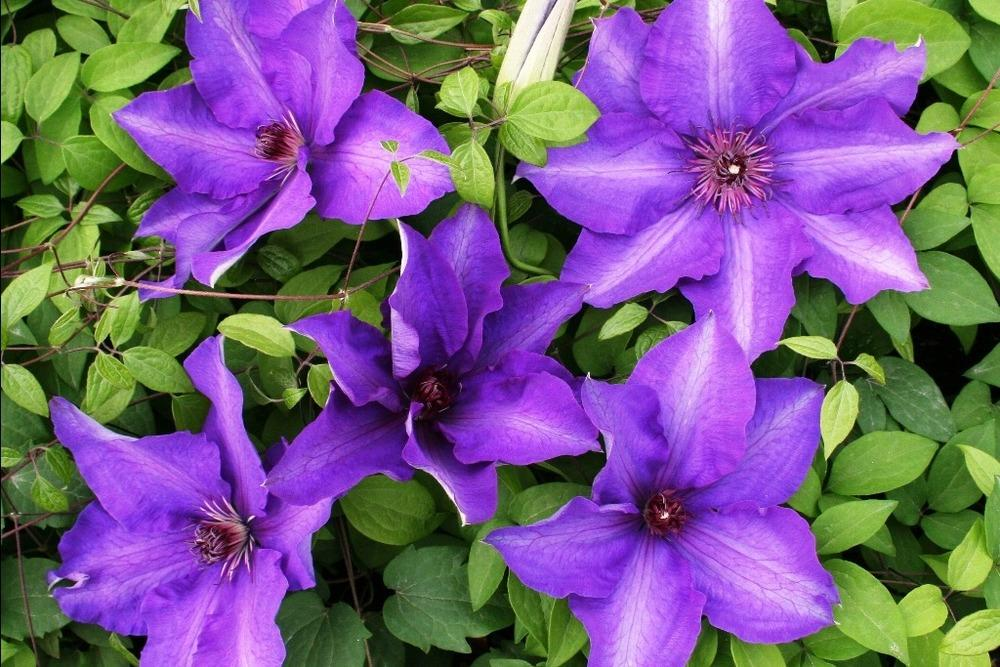 photo of the bloom of clematis 39 the president 39 posted by. Black Bedroom Furniture Sets. Home Design Ideas