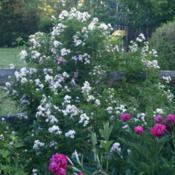 Location: Allentown, PennsylvaniaDate: 2015-05-29Hybrid shrub rose Rosa x rehderiana
