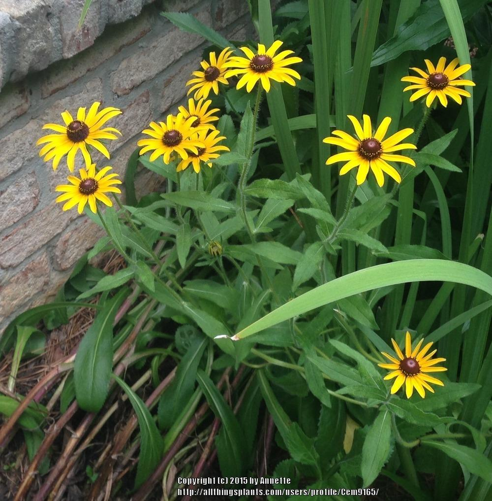 Photo of Black Eyed Susans (Rudbeckia) uploaded by Cem9165