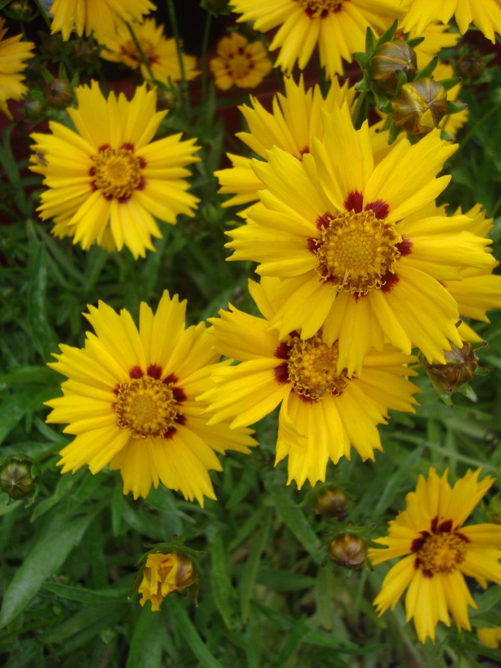 Photo of Tickseeds (Coreopsis) uploaded by Paul2032