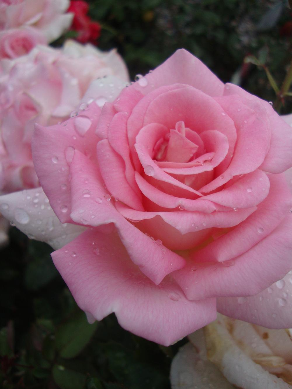 Photo of Rose (Rosa 'Falling in Love') uploaded by Paul2032