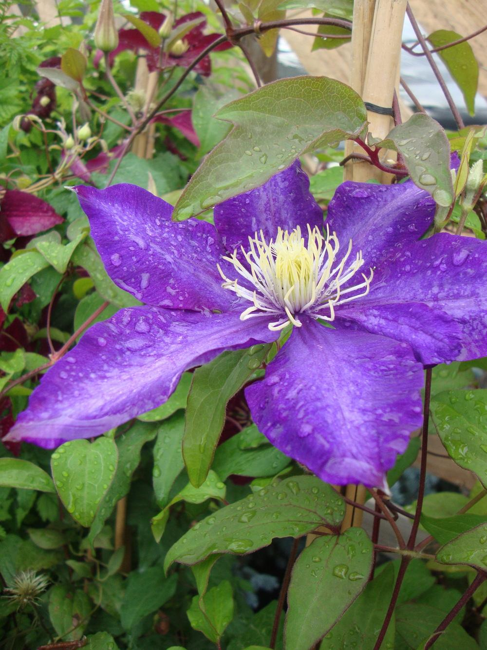 Photo of Clematis 'H.F. Young' uploaded by Paul2032