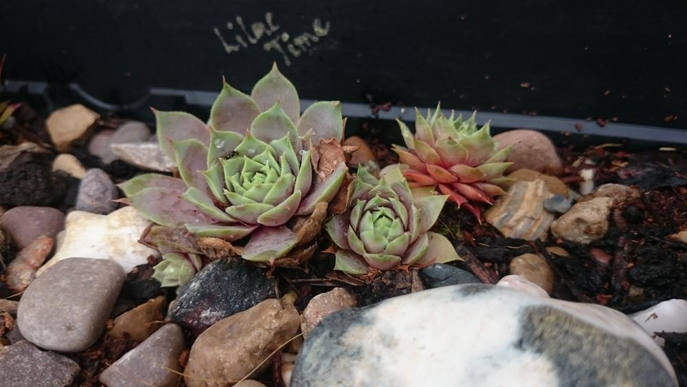 Photo of Hen and Chicks (Sempervivum 'Lilac Time') uploaded by PiaLouiseSourvi