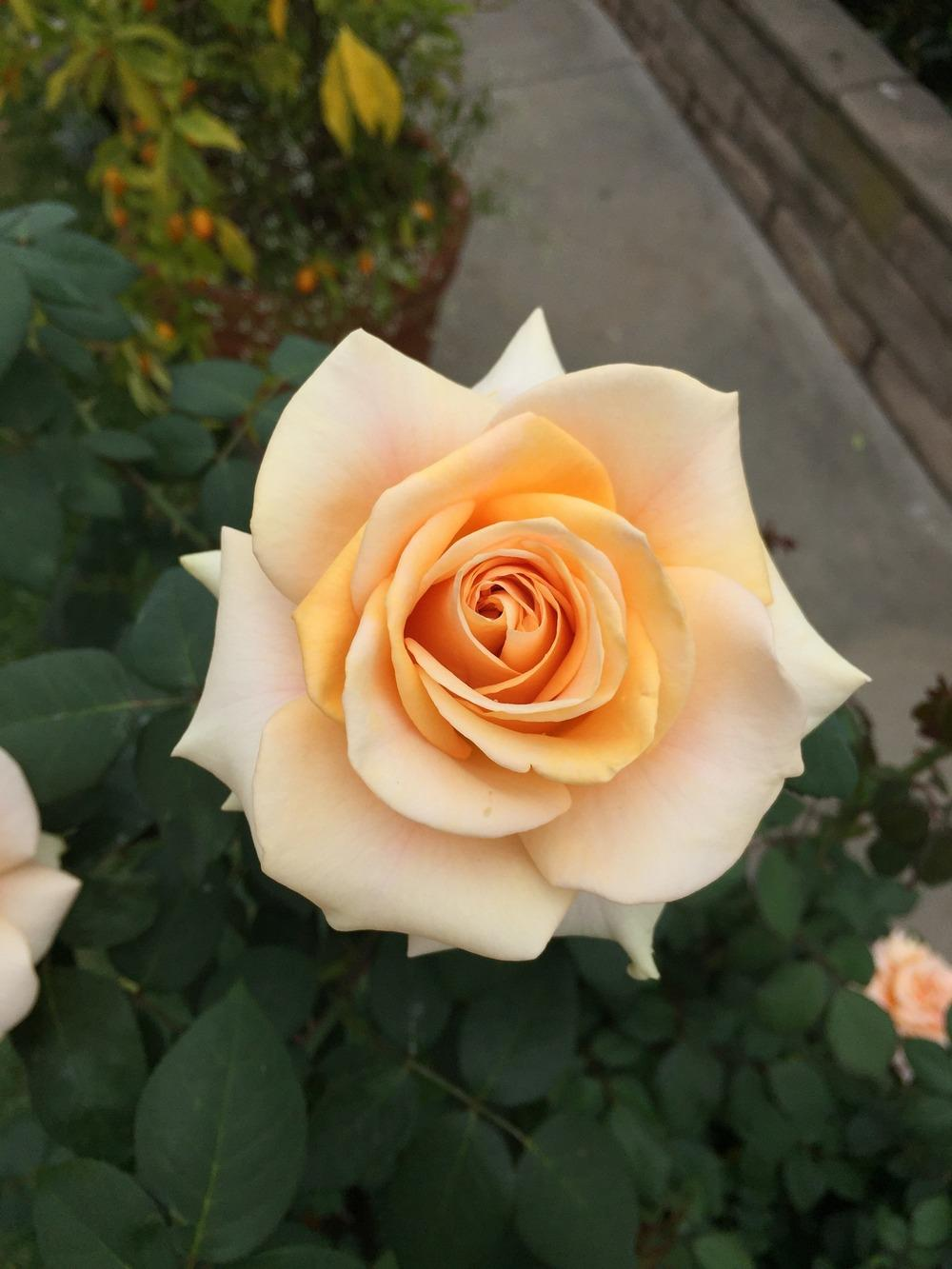 Photo of Rose (Rosa 'Marilyn Monroe') uploaded by mattmackay22