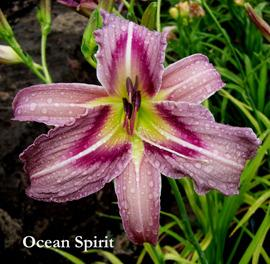Photo of Daylily (Hemerocallis 'Ocean Spirit') uploaded by Calif_Sue