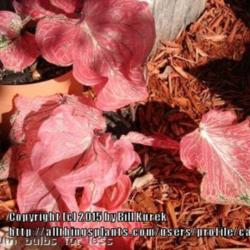 Thumb of 2015-06-14/caladiums4less/899d45