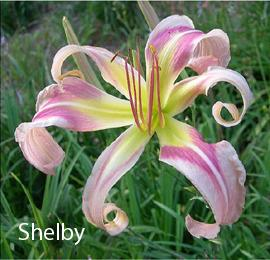 Photo of Daylily (Hemerocallis 'Shelby') uploaded by Calif_Sue