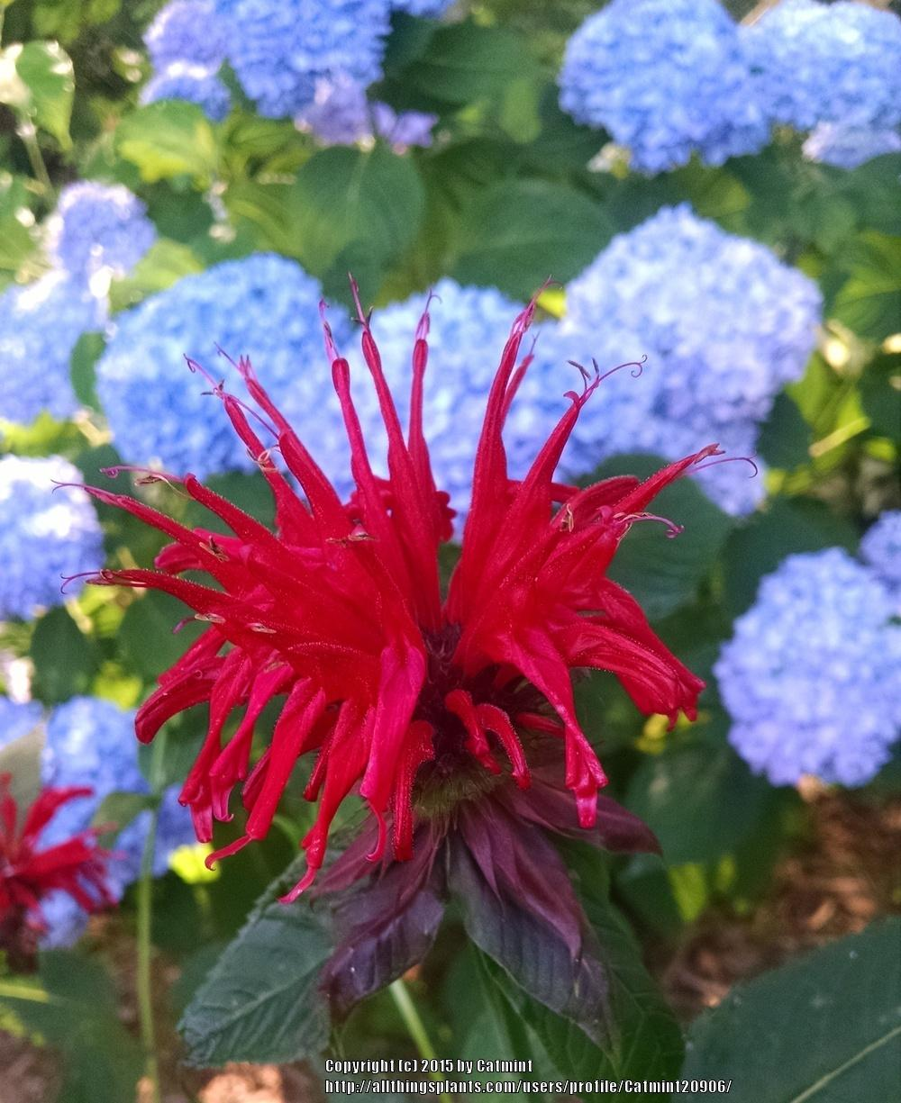Photo of Bee Balm (Monarda didyma 'Jacob Cline') uploaded by Catmint20906