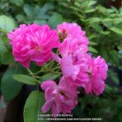 Location: my garden Date: 2015-06-01first year blooms; rooted from mother