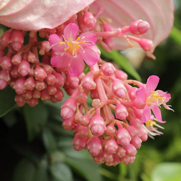Photo of Pink Lantern (Medinilla magnifica) uploaded by robertduval14