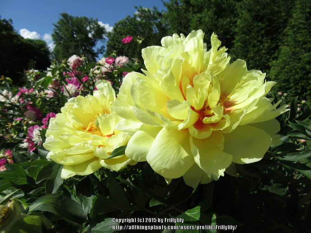 Photo of Intersectional Peony (Paeonia 'Bartzella') uploaded by Frillylily