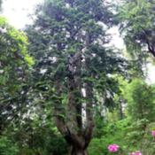 "Location: Arkinglas woodland garden, Argyll, ScotlandDate: 2015-06-08""The Monster"" - one of Great Britain's 'Champion Trees' this was"