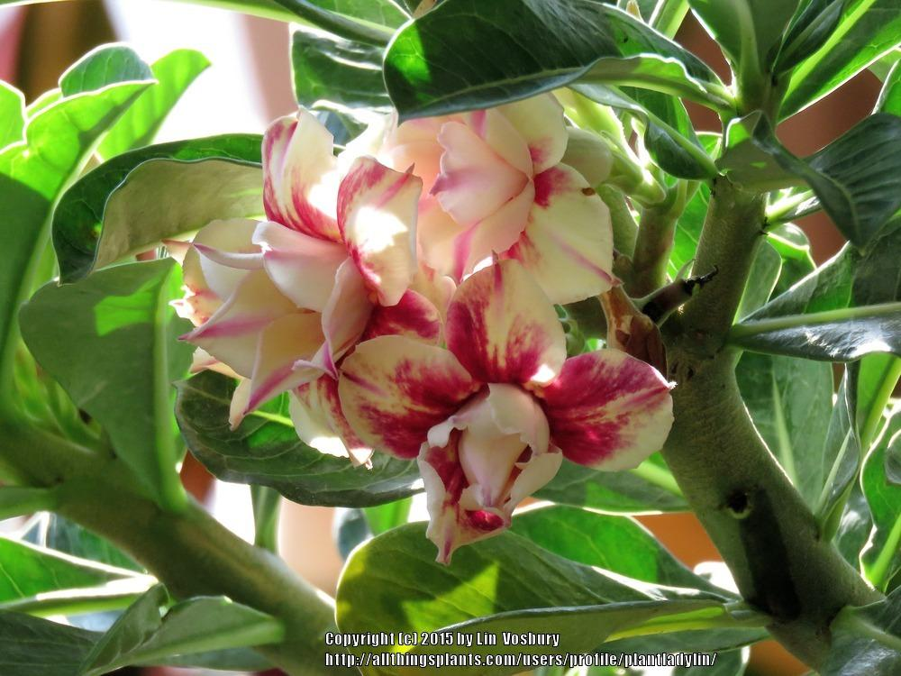 Photo of Adeniums (Adenium) uploaded by plantladylin