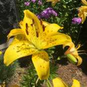 Location: Hamilton Square Perennial Garden, Historic City Cemetery, Sacramento CA.Date: 2015-06-18 May be Lily (Lilium 'Pearl Jennifer') but thats just a guess.