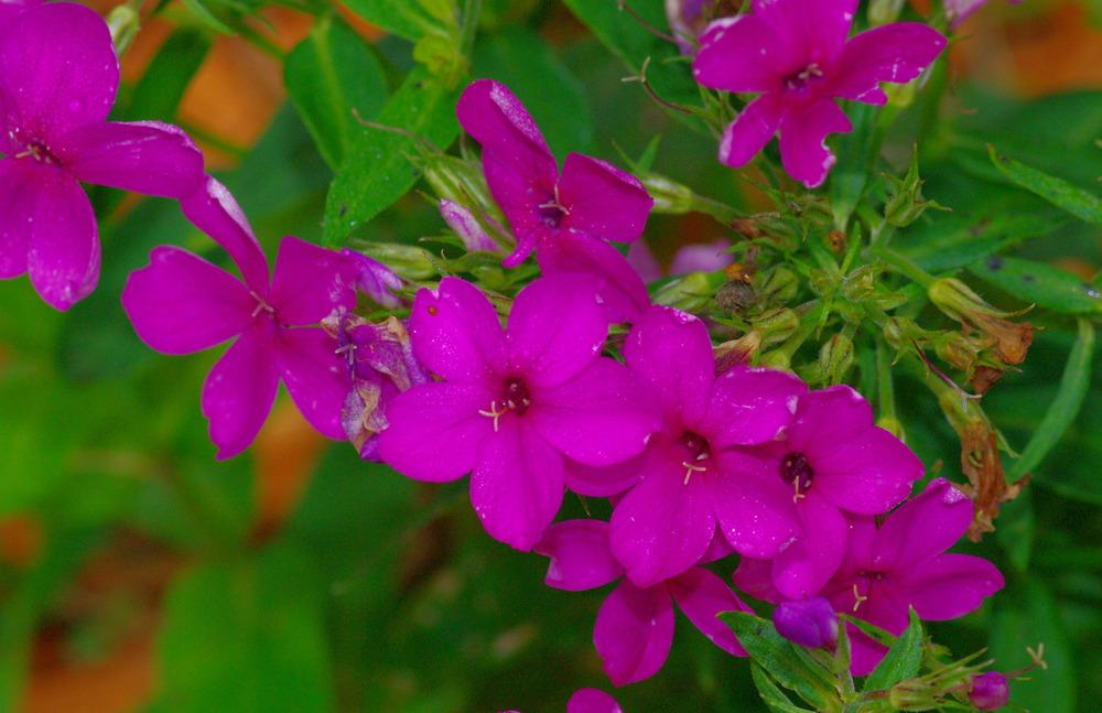 Photo of Phloxes (Phlox) uploaded by Rose1656