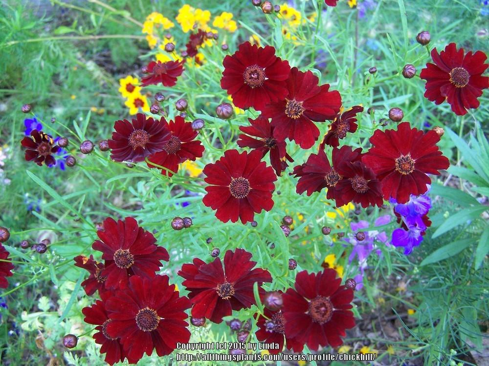 Photo of Tickseed (Coreopsis 'Limerock Ruby') uploaded by chickhill