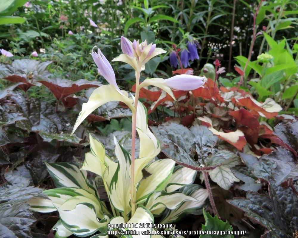 Photo of Hosta 'Fire and Ice' uploaded by foraygardengirl