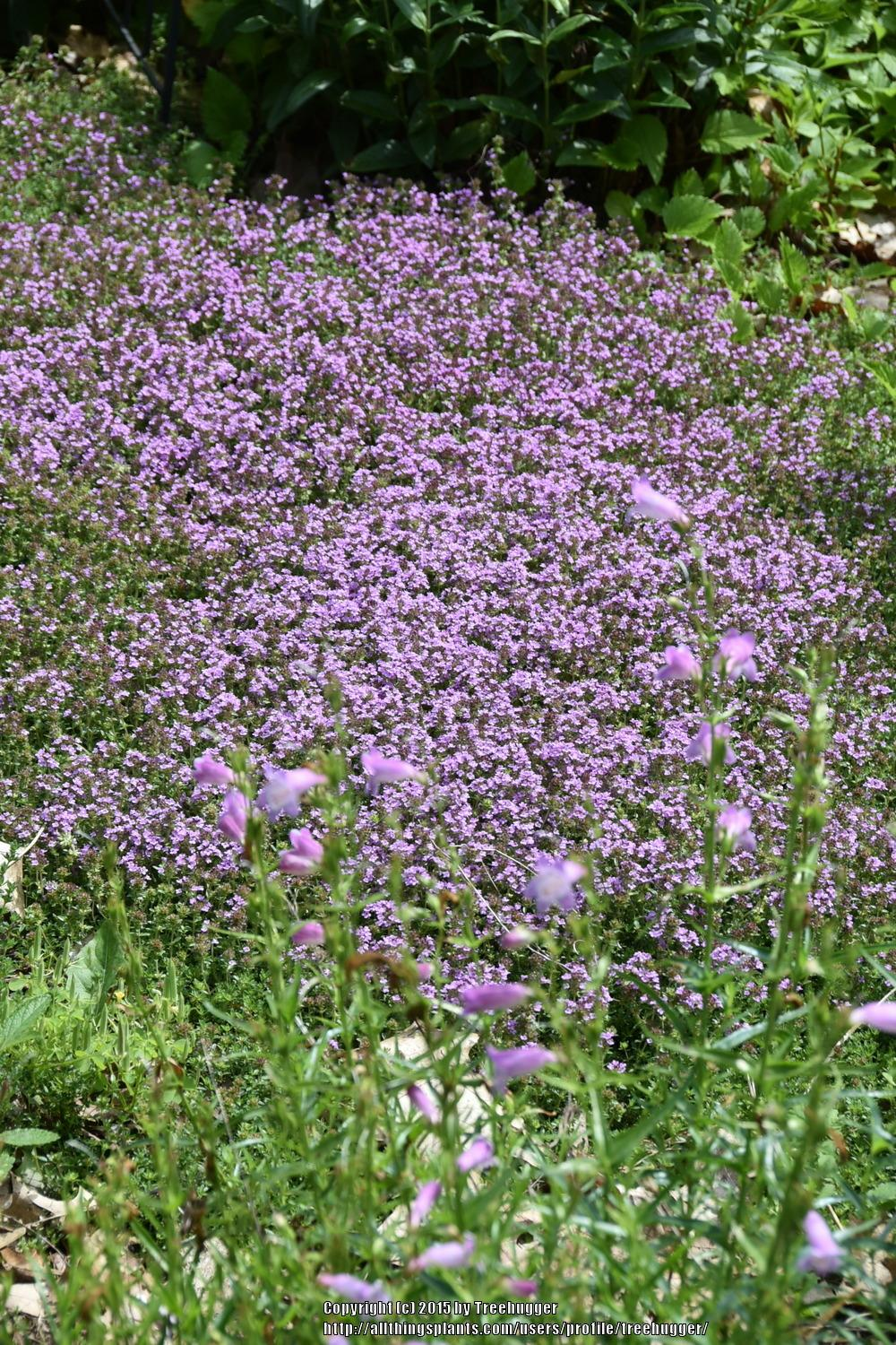Photo of Creeping Thyme (Thymus serpyllum 'Magic Carpet') uploaded by treehugger