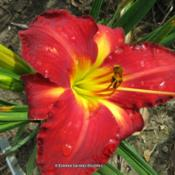Photo Courtesy of O'Bannon Springs Daylilies.
