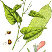 Date: 2008-07-14Lunaria rediviva Figure from Deutschlands Flora in Abbildungen 17