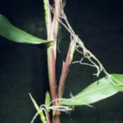 Location: The diploid perennial teosinte produces pistillate spikelets both in the axils of leaves along the main stem and at the ends of the main branches where staminate spikelets then terminate the spike.The diploid perennial teosinte produces pistillate spikelets both in the axils of leaves along the main stem and at the ends of the main branches where staminate spikelets then terminate the spike.Credit Matt Lavin