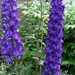 Staking Tall Delphiniums
