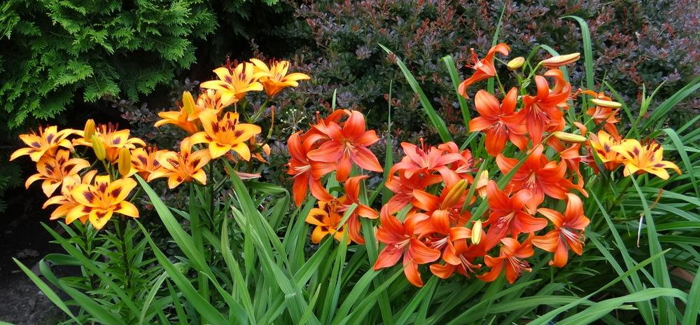 Photo of Lilies (Lilium) uploaded by stilldew