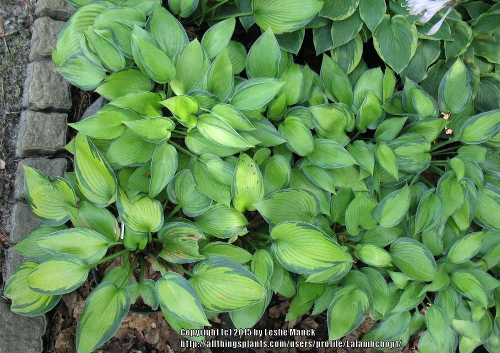 Photo of Hosta 'June' uploaded by Lalambchop1