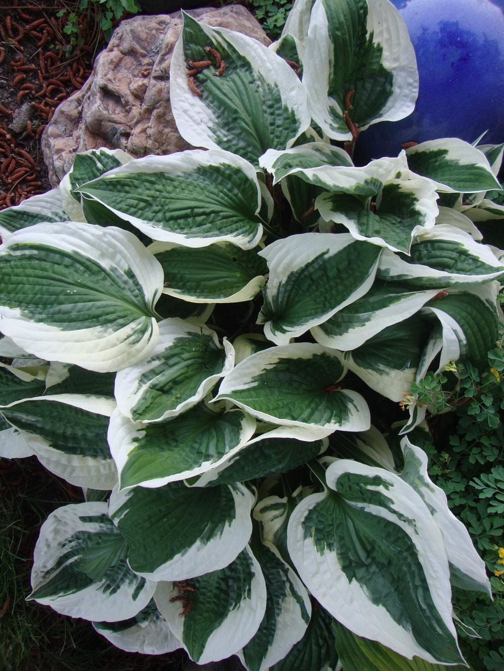 Photo Of The Entire Plant Of Hosta Minuteman Posted By Paul2032