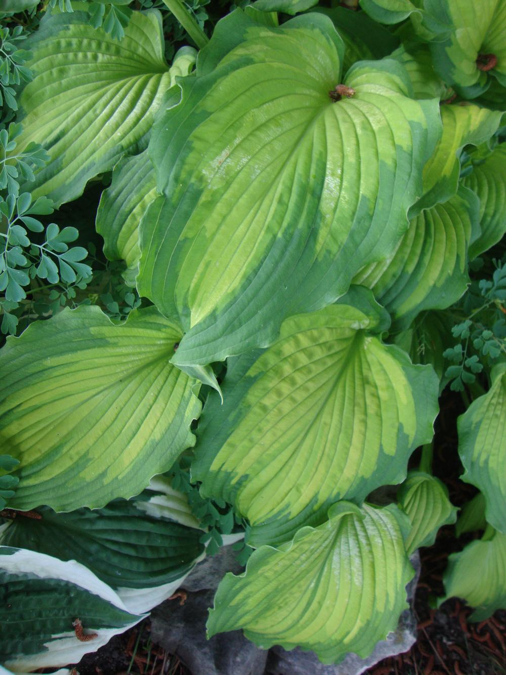 Photo of Hosta 'Emerald Ruff Cut' uploaded by Paul2032