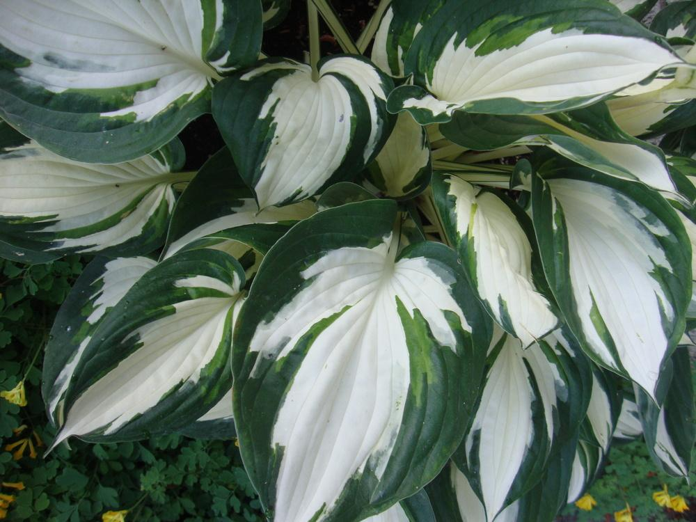 Photo of Hosta 'Fire and Ice' uploaded by Paul2032