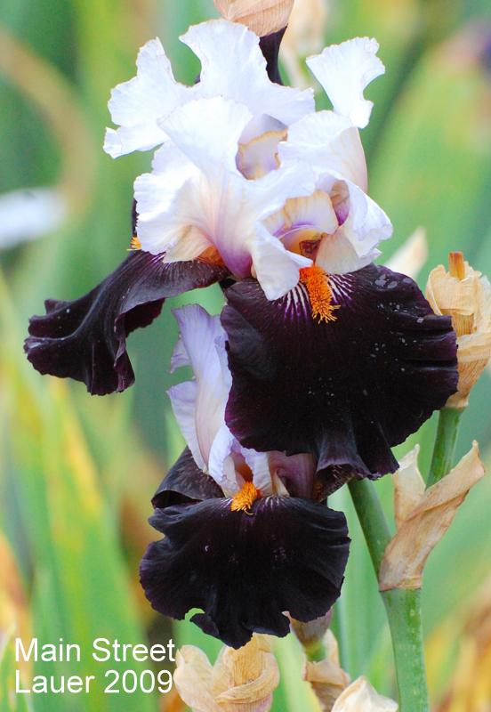 Photo of Tall Bearded Iris (Iris 'Main Street') uploaded by coboro