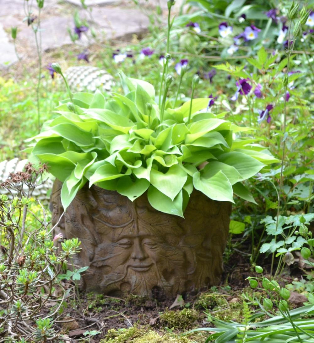 Hostas Are Wonderful In Containers Love Growing Hosta In Containers