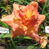 Location: Chapin, SCDate: June 2015Taken at Bruce Smith's Carolina Daylilies mid-afternoon