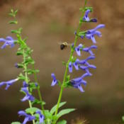 Location: southeast alabamaDate: 2015-06-13This is the most erect salvia I own and the most beauti