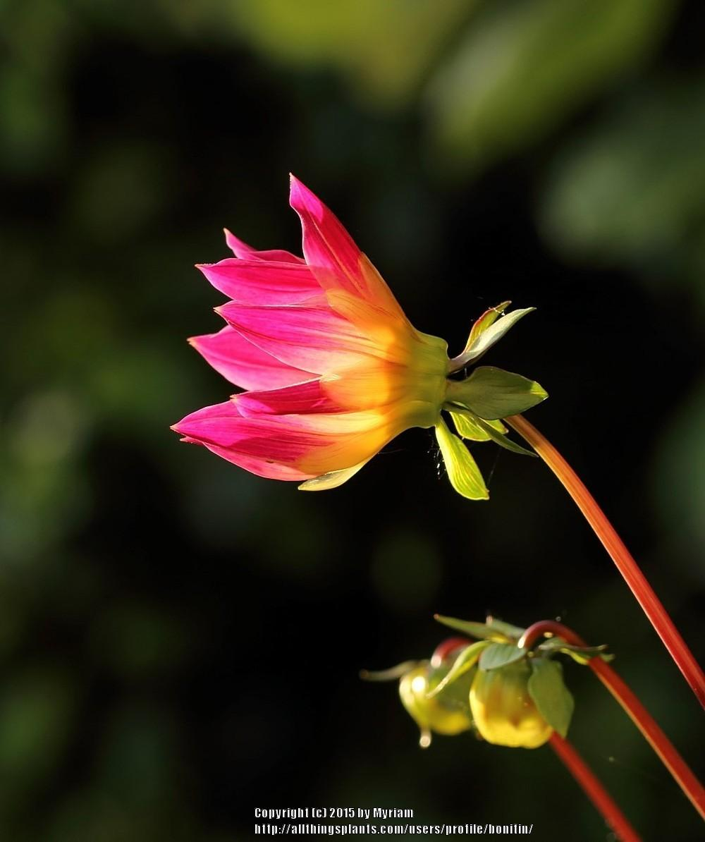 Photo of Dahlia 'Bright Eyes' uploaded by bonitin