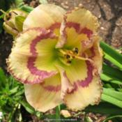Location: Blythewood, SCDate: 2012-05-24Taken at Peggy Jeffcoat's Singing Oakes Daylilies.