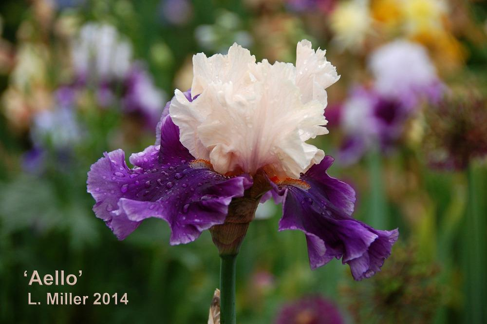Photo of Tall Bearded Iris (Iris 'Aello') uploaded by Mikey