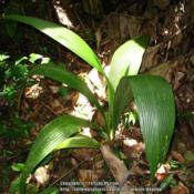Location: Atlantic Rainforest, Paraty, BrazilDate: 2010-02-11not native to Brazil, escaped into the wild..