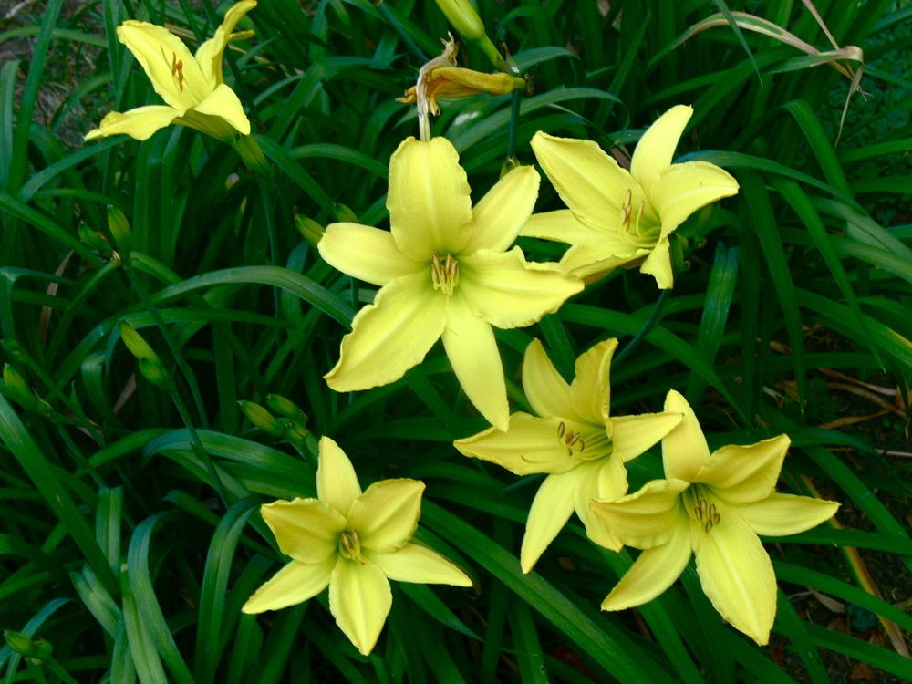 Photo of Daylilies (Hemerocallis) uploaded by janwax