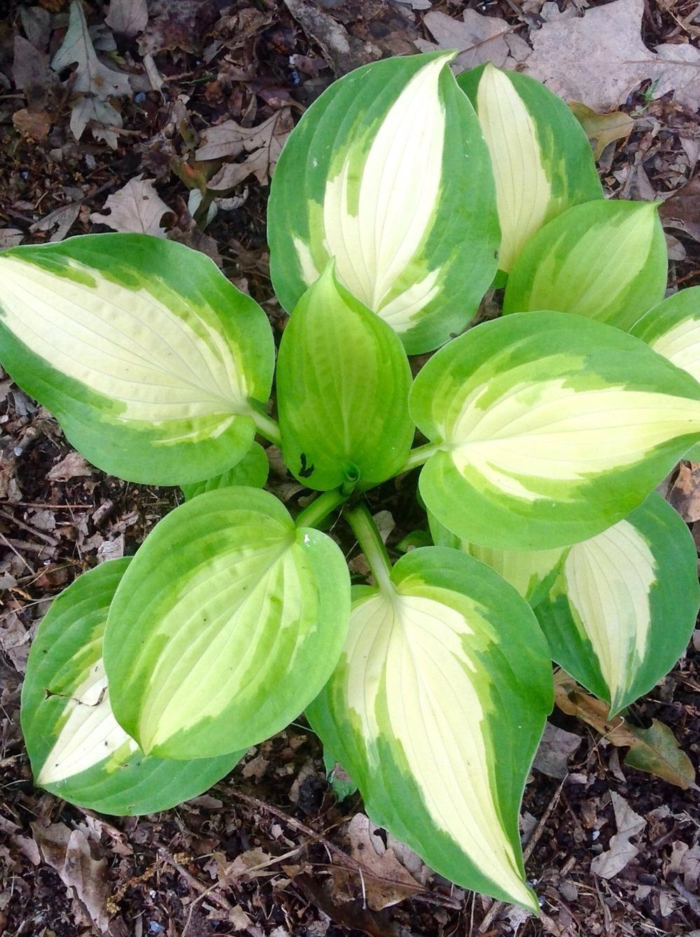 Hostas Plant Care And Collection Of Varieties Gardenorg
