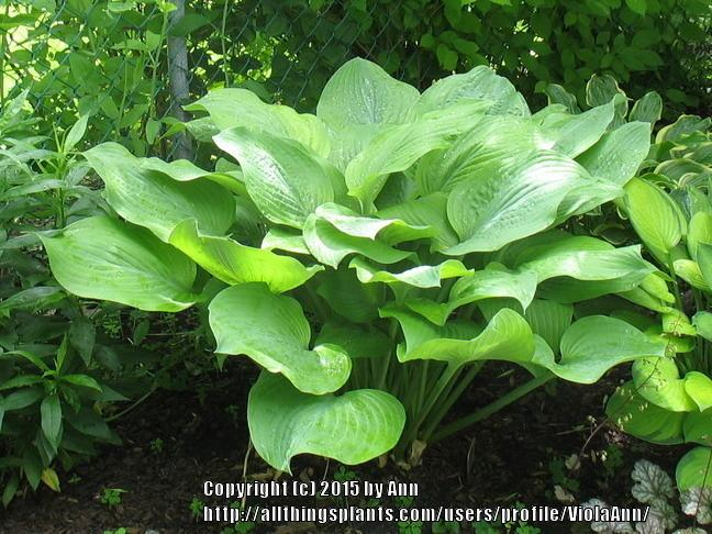 Photo of Hosta 'Sara' uploaded by ViolaAnn